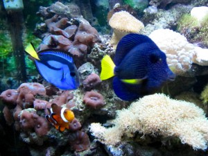 Purple Tang, Hippo tang, clown fish in Reef Tank