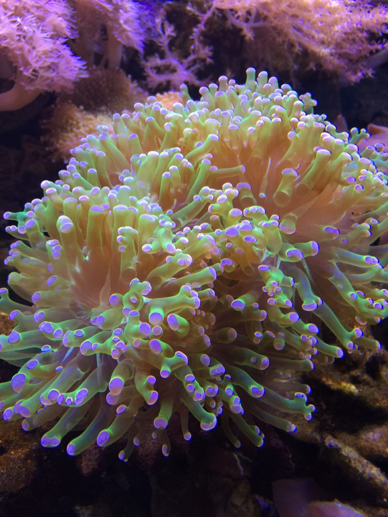 Frog Spawn Coral