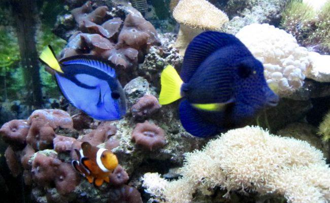 Purple Tang, Hippo tang, clown fish in Reef Tank