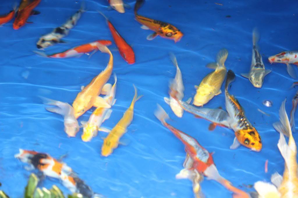 Kio and Goldfish