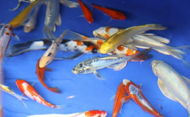goldfish-pic2