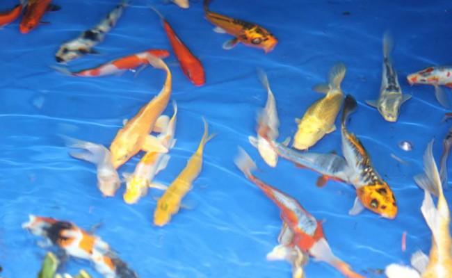 goldfish-pic3