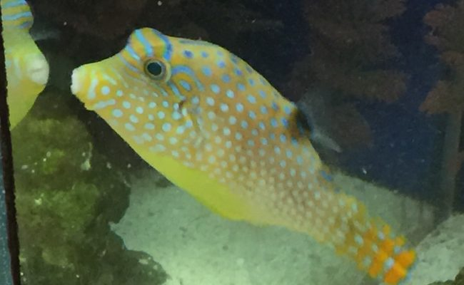 Blue Spotted Pufferfish